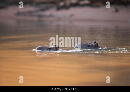 Two Capybaras (Hydrochoerus hydrochaeris) swimming on a river in the Pantanal of Brazil - Stock Photo