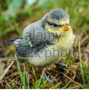 Blaumaisenküken - Stock Photo