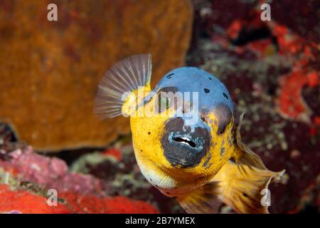 A blackspotted puffer or dog-faced puffer, Arothron nigropunctatus, Philippines, Southeast Asia. - Stock Photo