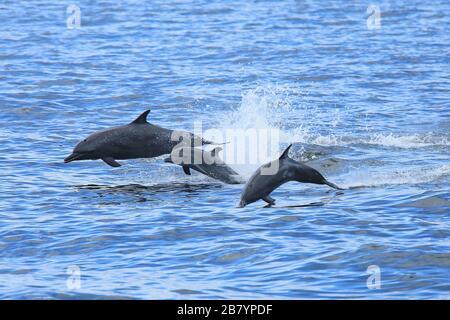 Group of common bottlenose dolphins (Tursiops truncatus) jumping. Papagayo Peninsula, Guanacaste, Costa Rica. - Stock Photo