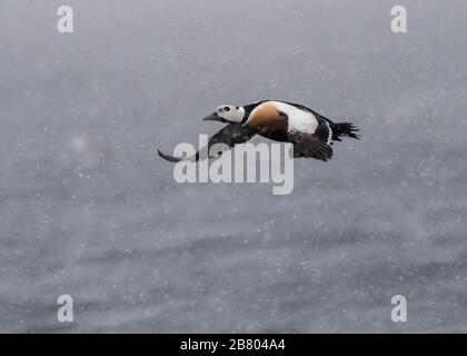 Eider Steller's (Polysticta stelleri), male in flight across the fjord, Båtasfjord, Varanger, Arctic Norway - Stock Photo