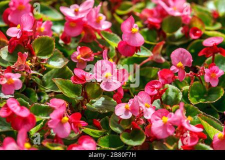 Pink wax begonia (fiborous begonia) in garden closer - Stock Photo