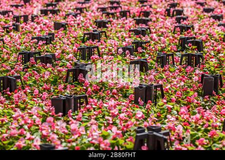 Pink wax begonia (fiborous begonia) in garden market - Stock Photo