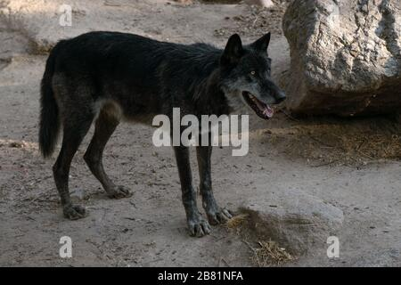 Portrait of a beautiful black northwestern wolf at sunset in the wild - Stock Photo