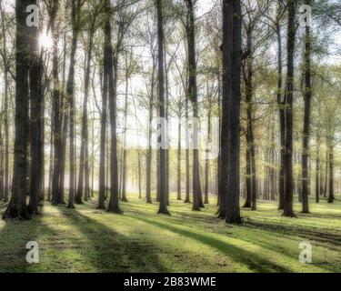 Forest of oak trees in fog and early morning light and shadows streaming through the trees with a sun starburst in left upper corner. - Stock Photo