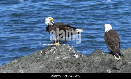 pair of bald eagles, with one feeding on a dead bird, at neah bay on the olympic penisula of the us pacific northwest - Stock Photo