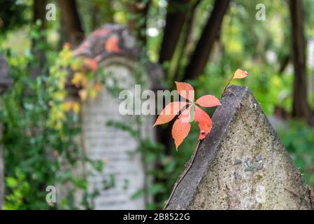 A red Leaf in Autumn on the Jewish Cemetery on Lido Island, District of Venice/Italy - Stock Photo