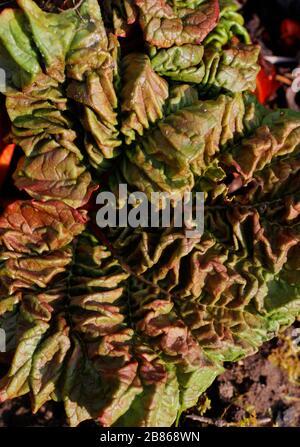 New rhubarb leaf emerging from a bud. Rhubarb leaf . Rheum - Stock Photo