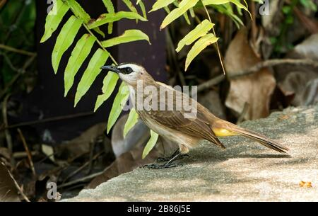 yellow-vented bulbul, Pycnonotus goiavier, feeding on fruit on the ground, Gardens by the Bay, Singapore - Stock Photo