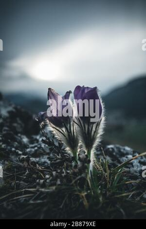 purple crocus spring flowers in the nature - Stock Photo