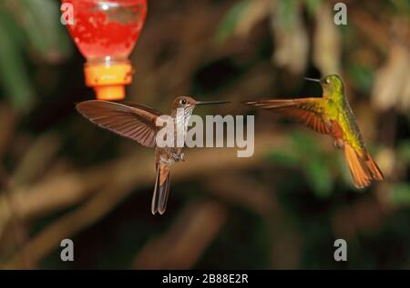 Bronzy Inca (Coeligena coeligena obscura) adult in flight defending feeder from Chestnut-breasted Coronet (Boissonneaua matthewsii)  Owlet Lodge, Peru - Stock Photo
