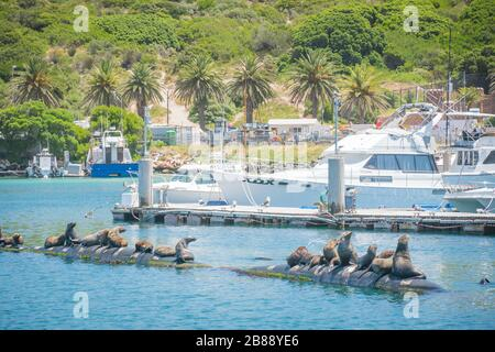 near Cape Town, South Africa - November 30, 2019 - seals resting on pontoons in Hout Bay harbour - Stock Photo