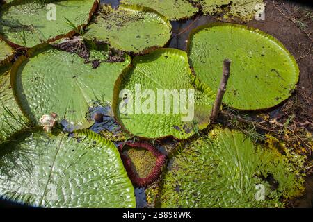 Amazonian Victoria giant water lily pads in the Amazon Rain Forest, Peru, South America.