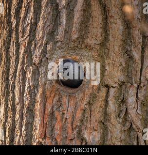 Richmond Park, London, UK. 21st March 2020. A Jackdaw watches from its nest in a tree hole at Richmond Park in south west London. Credit: Malcolm Park/Alamy. - Stock Photo