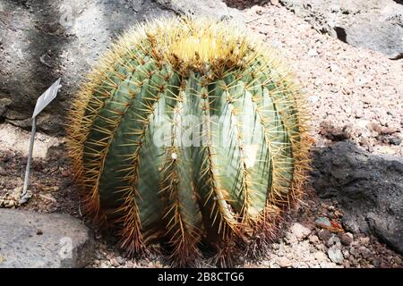 Kaktus ferocactus glaucescens - Stock Photo