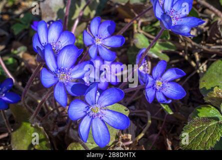 Liverflower (Hepatica nobilis), blossoms, Bavaria, Germany, Europe