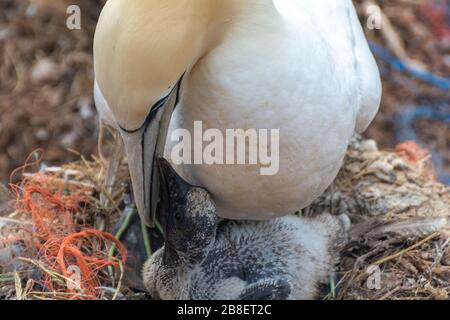 Northern gannets on the offshore island of Helgoland in the German North Sea - Stock Photo