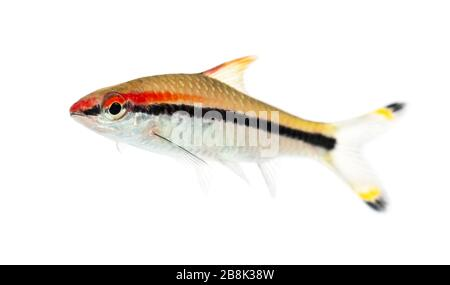 Side vie of a Denison barb, fish, Sahyadria denisonii, isolated on white - Stock Photo