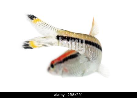 Back view of a Denison barb, fish, Sahyadria denisonii, isolated on white - Stock Photo