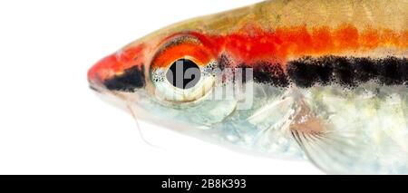 Close-up of a Denison barb face, Sahyadria denisonii, isolated on white - Stock Photo