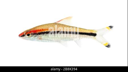 Side view of a Denison barb, Sahyadria denisonii, isolated on white - Stock Photo