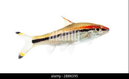 Denison barb, Sahyadria denisonii, isolated on white - Stock Photo