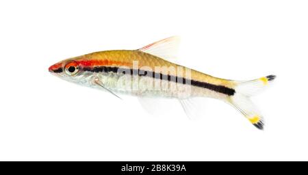 Denison barb, Sahyadria denisonii, isolated on white - Stock Photo