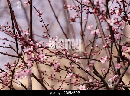 Blooming orchard tree in springtime. Japanese cherry – Sakura tree blossom. - Stock Photo