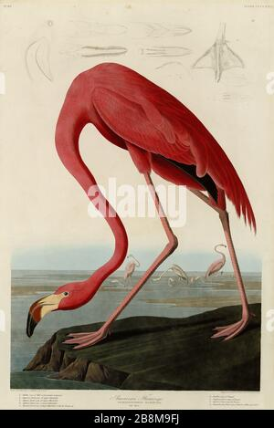 Plate 431 American Flamingo, from The Birds of America folio (1827–1839) by John James Audubon - Very high resolution and quality edited image - Stock Photo