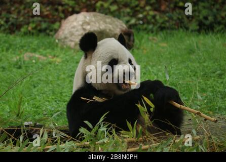 Giant Panda (Ailuropoda melanoleuca) eating bamboo at Madrid Zoo - Stock Photo