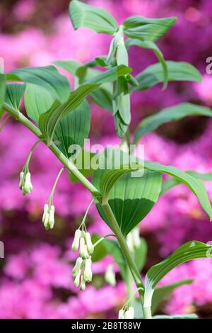 Polygonatum × hybridum common Solomon's seal (Syn. Polygonatum multiflorum) with pink background of Rhododendron Hatsu-giri - Stock Photo