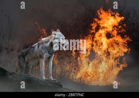 Wolf on a background of burning forest. Wild animal in the midst of fire and smoke - Stock Photo