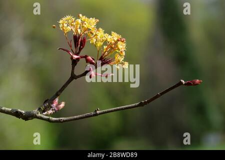 Norway maple Goldsworth Purple, Acer platanoides Goldsworth Purple in flower during early Spring with out of focus background - Stock Photo