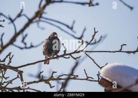 starling sitting on a tree branch, near a birdhouse, in winter