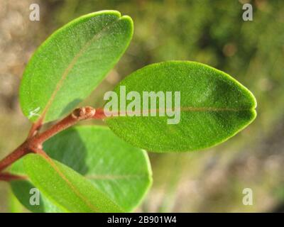 'Leaves of Northern rātā (Metrosideros robusta), showing the distinct apical notch. From a young labelled tree growing at the Auckland Botanic Gardens, Manurewa, Auckland, New Zealand.; 17 June 2007; Own work; Kahuroa; ' - Stock Photo