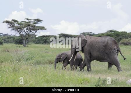 The African bush elephant, also known as the African savanna elephant, is the largest living terrestrial animal.
