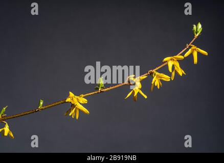 Forsythia x intermedia Lynwood Variety,  forsythia Lynwood Variety, Oleaceae. Early spring flowering shrub with golden yellow flowers. - Stock Photo