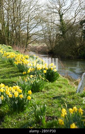 Daffodil, (Narcissus pseudonarcissus), flowering along side  Driffield Navigation Canal,East Yorkshire,  England, UK, GB. - Stock Photo