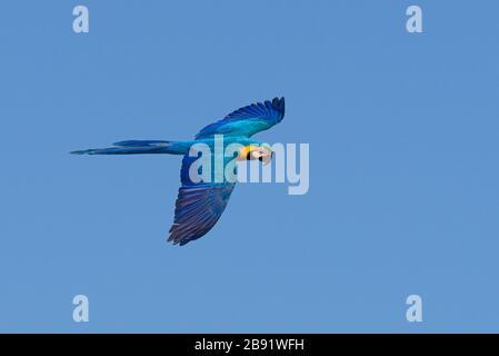 A wild Blue-and-yellow Macaw (Ara ararauna) flying in Brazil - Stock Photo