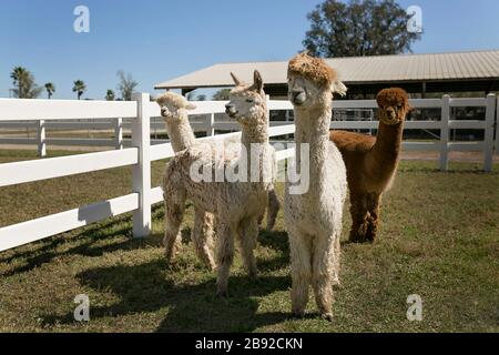 Four alpacas standing in white fenced in area on alpaca farm - Stock Photo