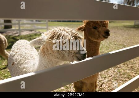Two young alpacas looking through white fence - Stock Photo