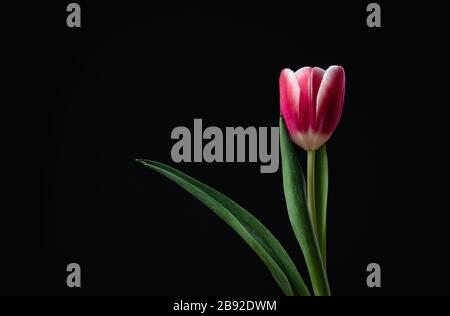 Isolated single pink tulip edged in white against black background. - Stock Photo