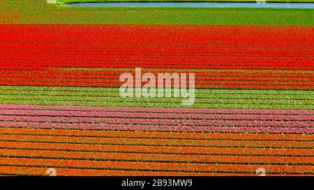 Aerial view of bulb-fields in springtime, located between the towns of Lisse and Sassenheim, province of Zuid-Holland, the Netherlands - Stock Photo