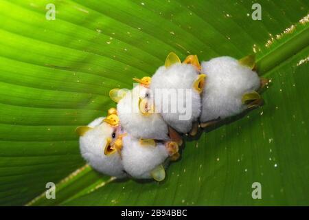 A roosting colony of the Honduran white bat (Ectophylla alba) shot in La Selva reserve, Costa Rica - Stock Photo