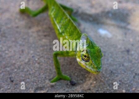 Chameleon in Madagascar - Stock Photo