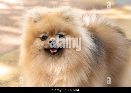 Portrait of a little fluffy Pomeranian puppy smiling - Stock Photo