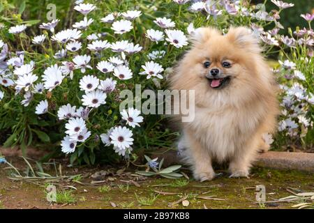 Dog pomeranian spitz sitting on blossom flowers. Close-up portrait of smart brown puppy pomeranian dog. Cute furry domestic animal sitting between - Stock Photo