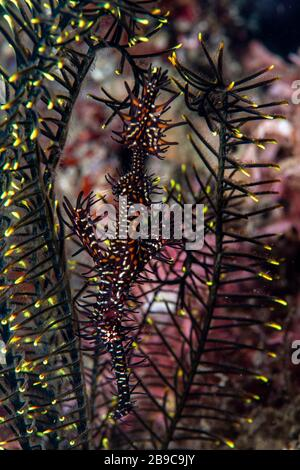 A ghost pipefish hides among the arms of a feather star. - Stock Photo