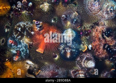 Colorful Christmas tree worms thrive on a reef in Indonesia's Banda Sea. - Stock Photo