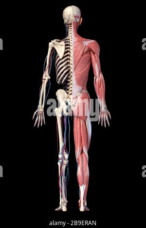 3D illustration of full human skeleton with muscles, veins and arteries, black background. - Stock Photo